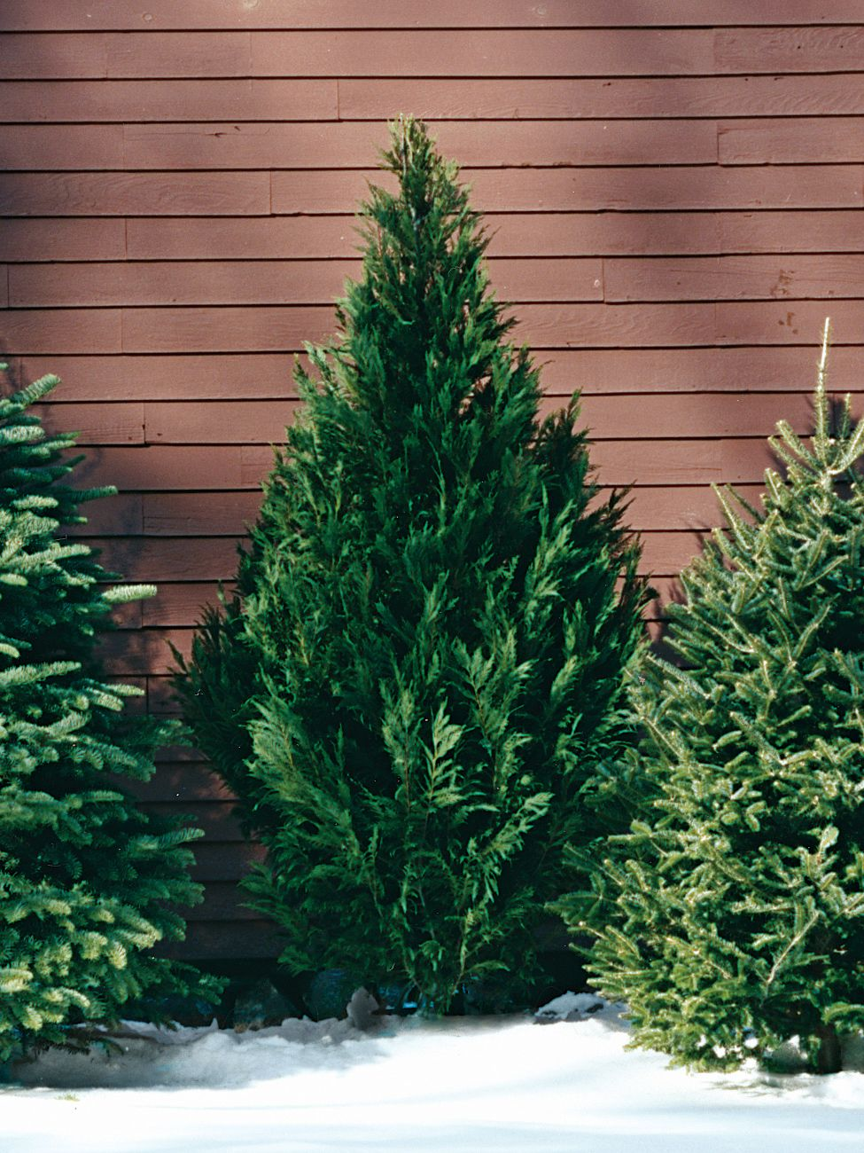 A Guide To All The Different Types Of Christmas Trees Types Of Christmas Trees Leyland Cypress Christmas Tree Varieties