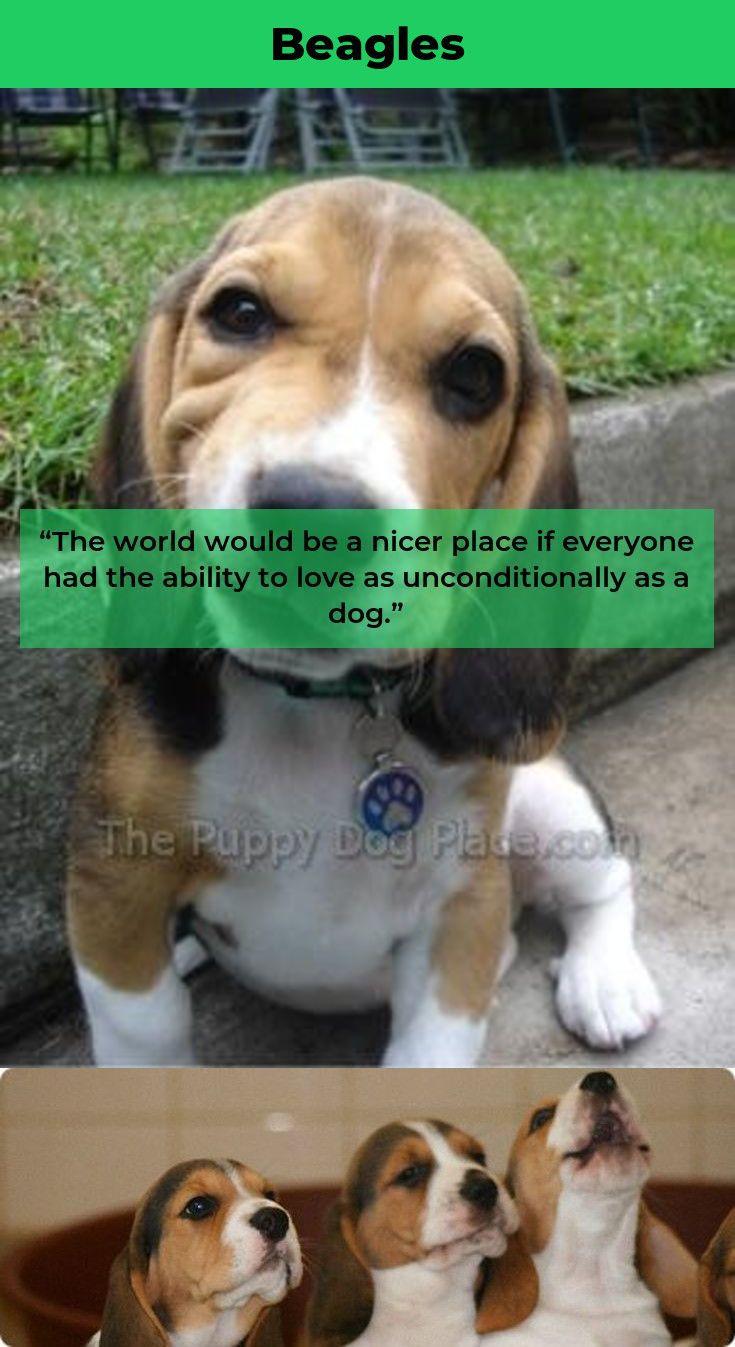 Beagle Puppy Beaglemom Beagles Full Grown Beagle Beagle Puppy