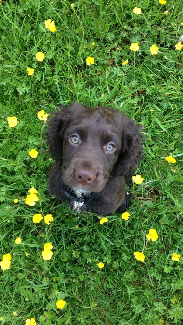 Meet Maggie Sprocker Spaniel Puppy Puppies Er Dog English