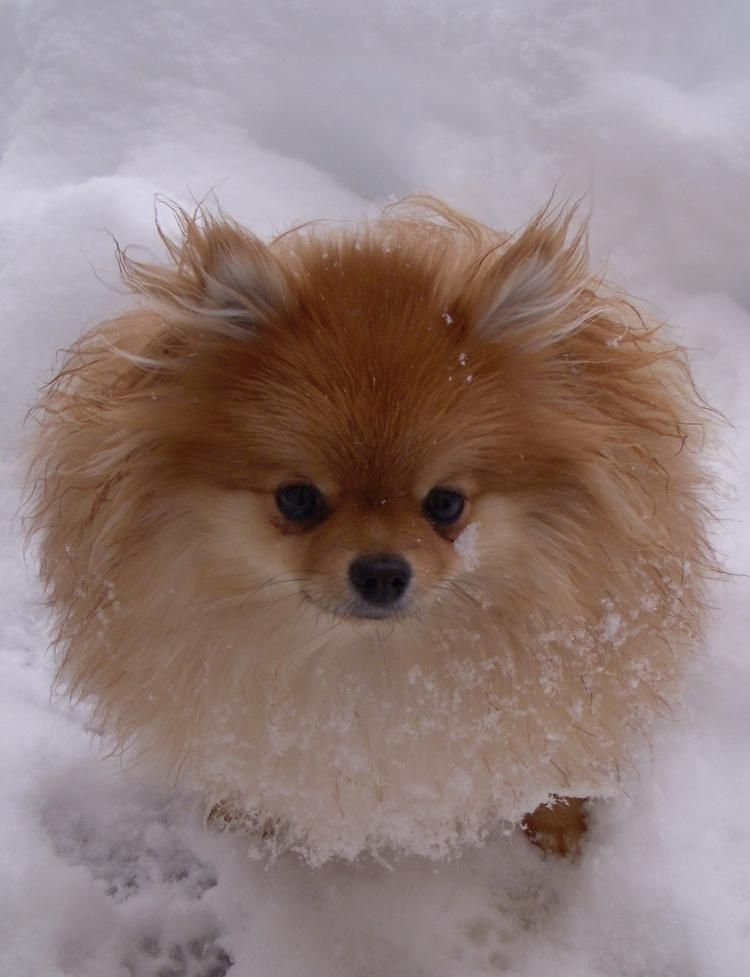 Mini The Pomeranian Cute Animals Big Animals Cute Dog Photos