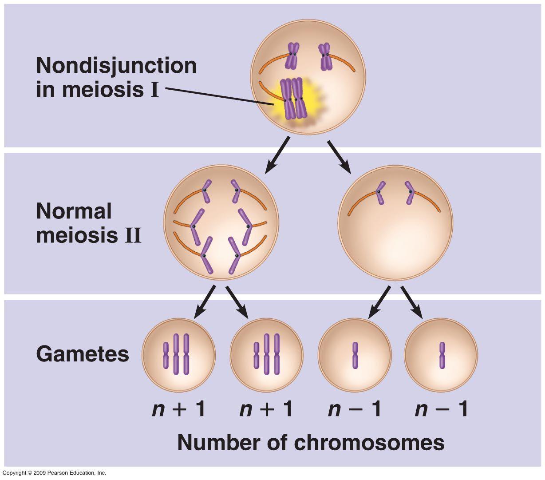 Nondisjunction Chromosomes Do Not Separate Properly During Meiosis Meiosis Science Nerd Chromosome