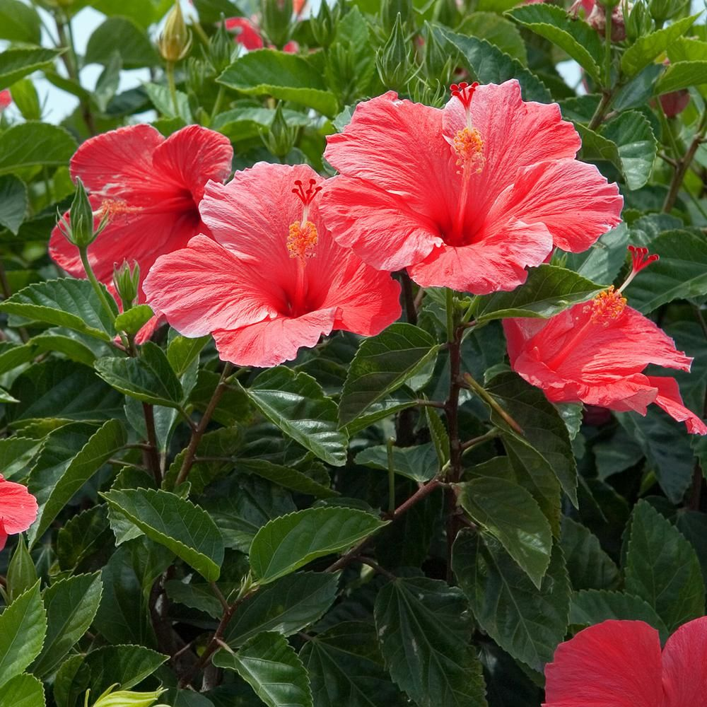 Van Zyverden Hibiscus S Lucy Red Set Of 1 Root Stock 83562 The Home Depot In 2020 Hibiscus Shrub Hibiscus Flowers