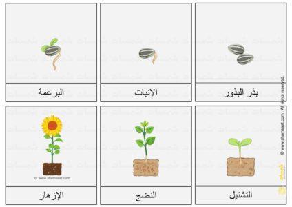اوراق عمل دورة حياة نبات دوار الشمس علوم للأطفال 2 Plants