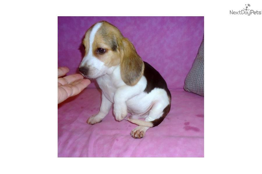 Nike Adorable Tri Color Beagle Boy Beagle Puppy Cute Beagles Beagle