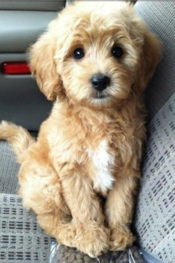 16 Outrageously Adorable Poodle Mixes You Need To See Cute