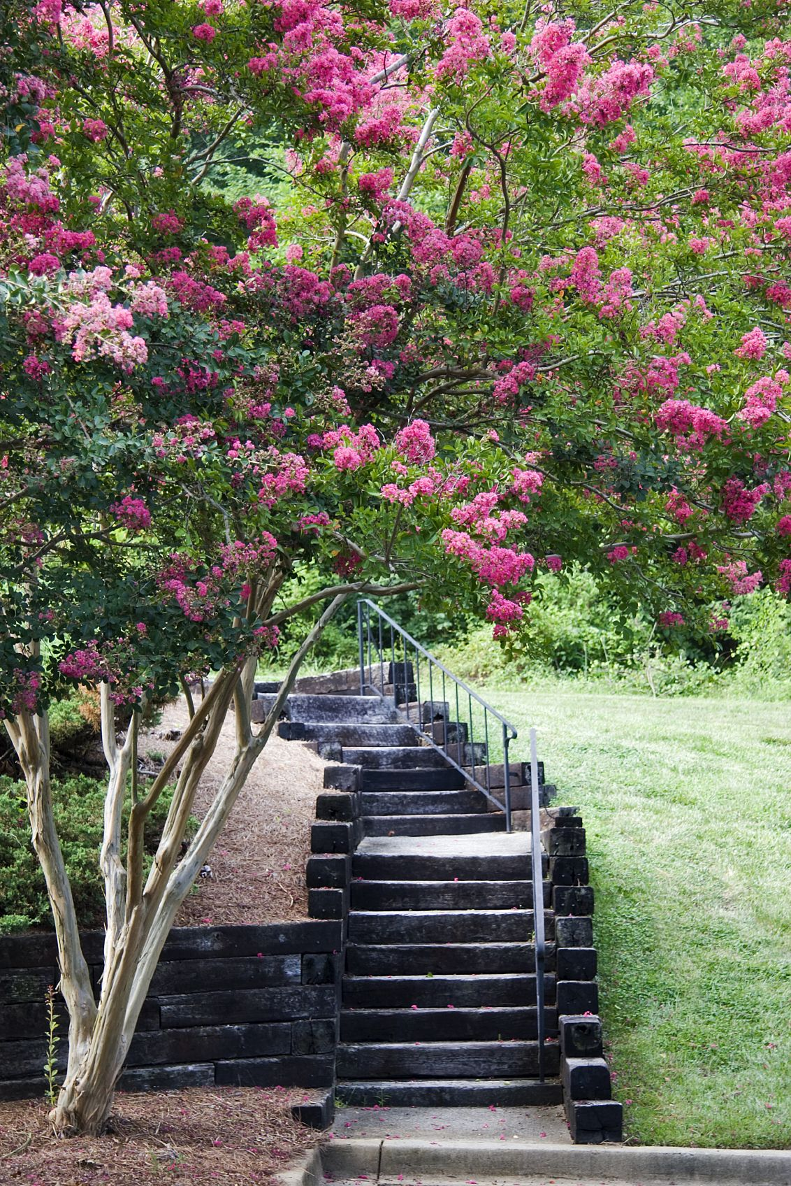Crepe Myrtle Root System Are Crepe Myrtle Roots Invasive Myrtle Tree Crepe Myrtle Trees Crepe Myrtle