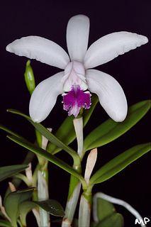 Cattleya intermedia var. coerulea orchid - Here is a care tutorial: https://youtu.be/QhIPWC3s1s0