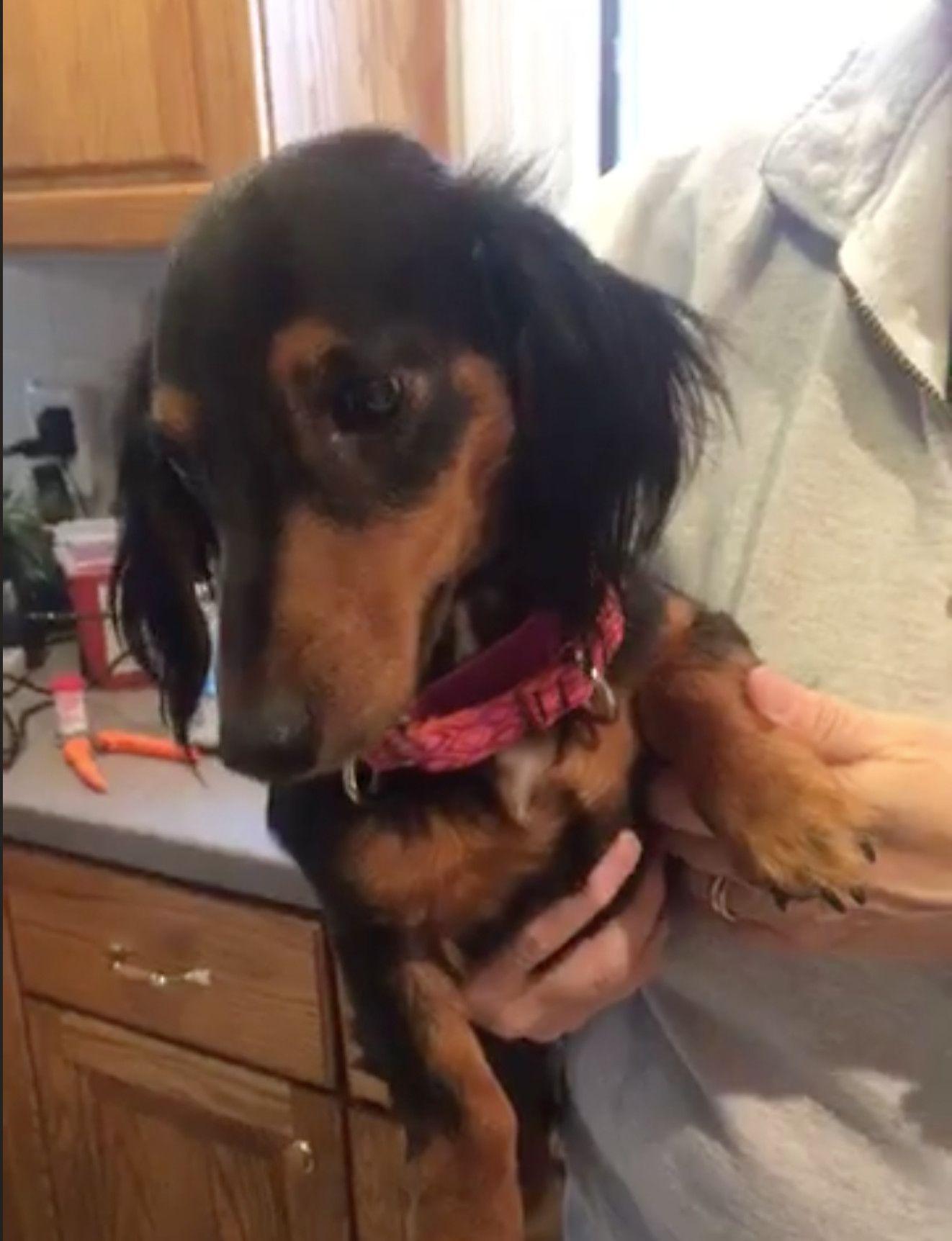 Adopt Morgan On In 2020 Baby Dachshund Dachshund Rescue Dachshund Dog