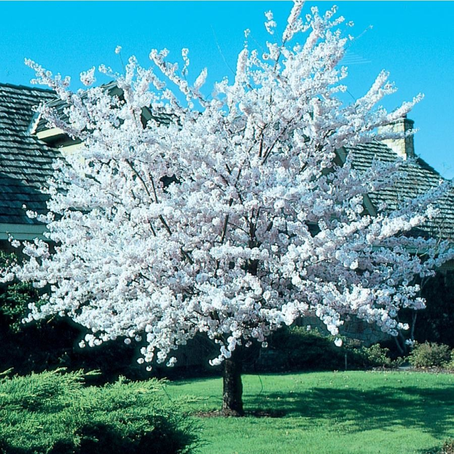 12 7 Gallon Pink Autumnalis Flowering Cherry Flowering Tree In Pot L6712 Lowes Com Flowering Trees Potted Trees White Flowering Trees