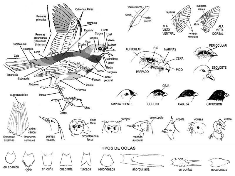 Image result for topografia de las aves pdf | Bird Labels ...