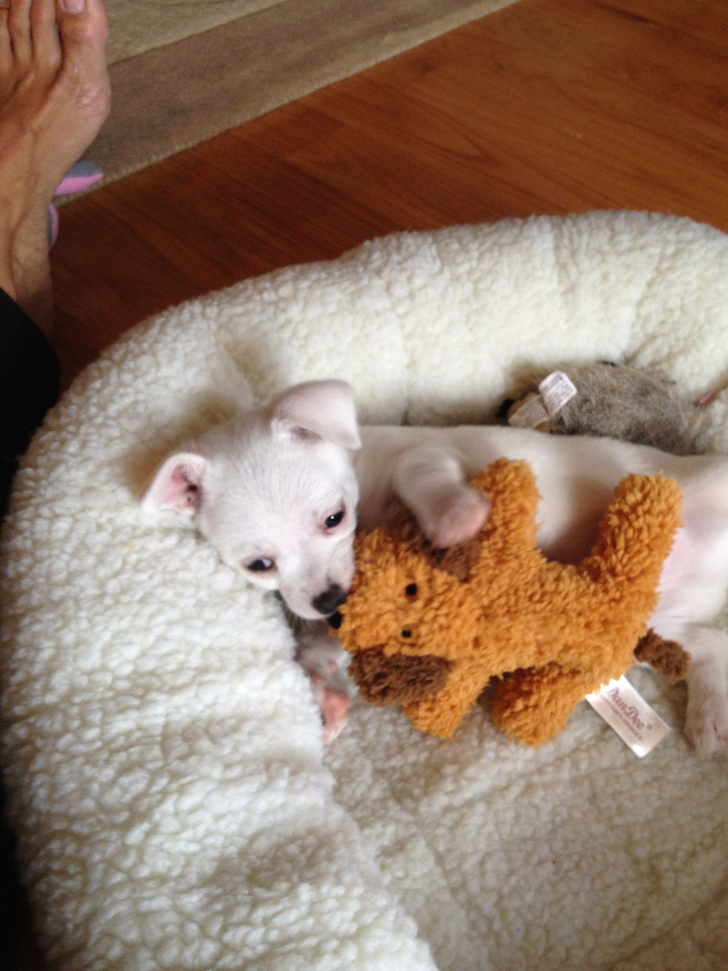 dc99d510 Chi-poo Louie 6 weeks Ferret, Chihuahua, Cute Dogs, Beautiful Dogs,