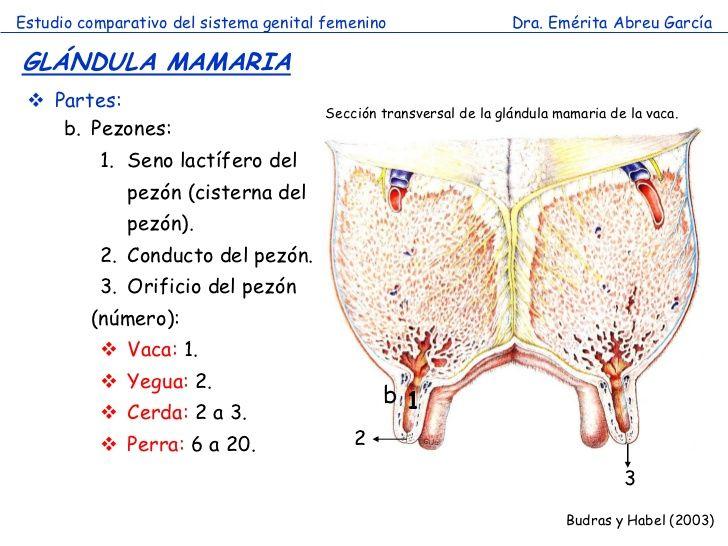 anatomia de la glandula mamaria bovinos - Buscar con Google ...