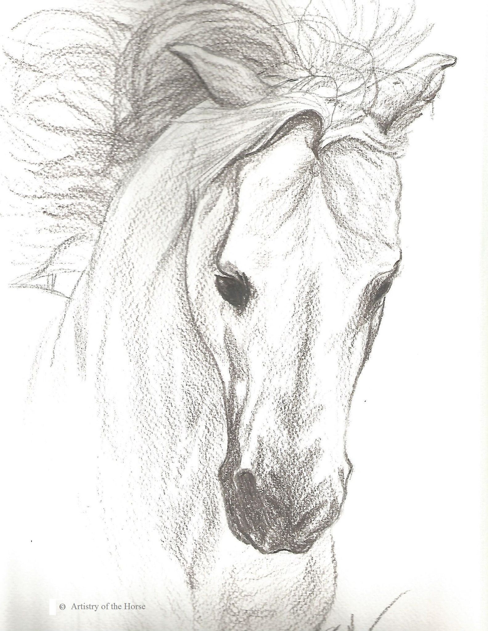 Horse portrait of a grey arabian stallion done in pencil on watercolor paper this is an original drawing for sale the drawing is 9 inches x 12 inches in
