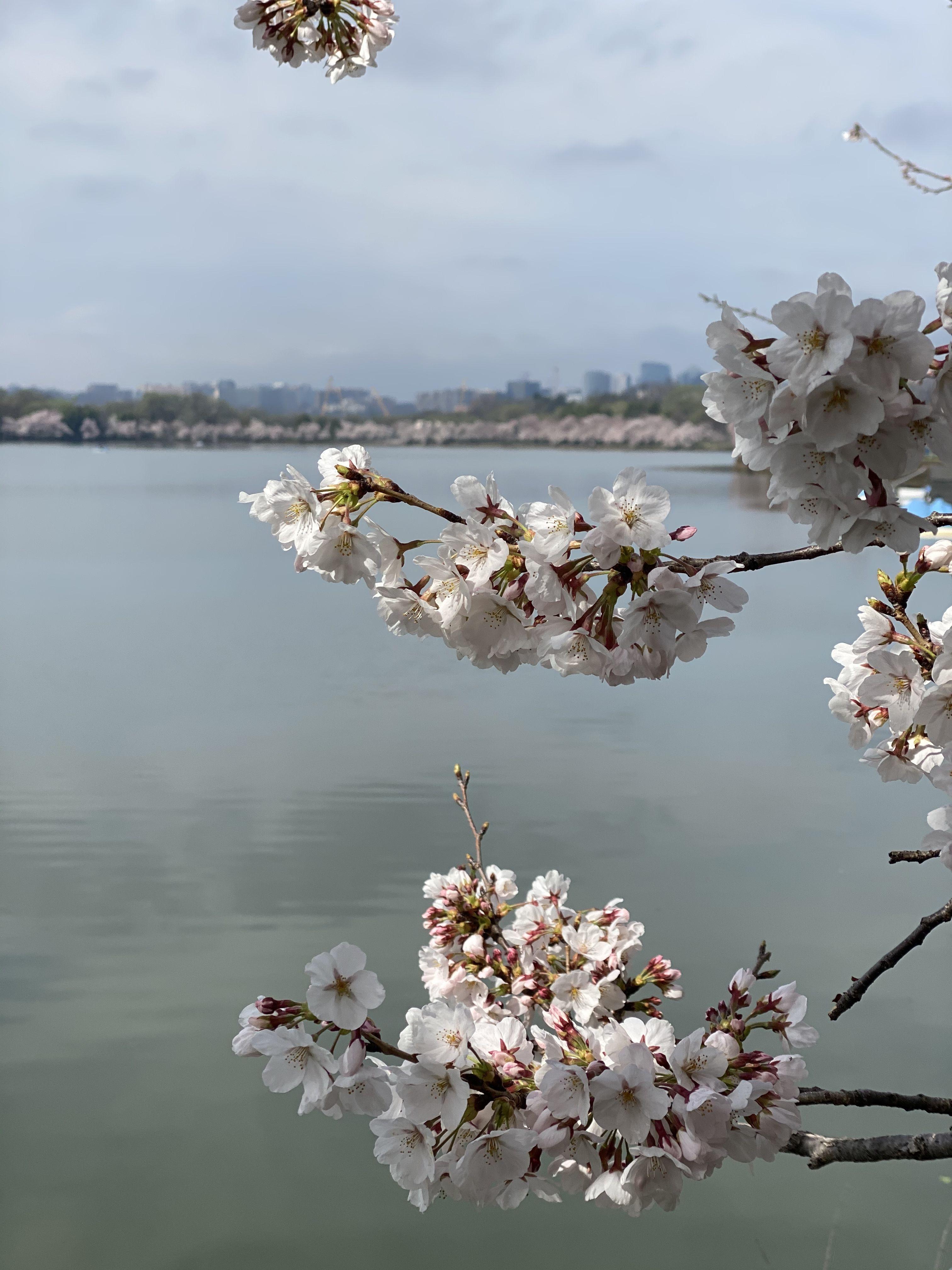 Cherry Blossoms 2020 Washington Dc Washington Dc Visit Dc Cherry Blossom