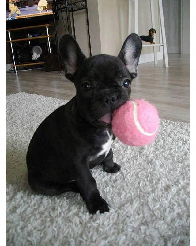 The Many Things We Enjoy About The Playful French Bulldog Puppies