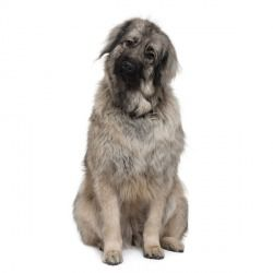 Il Cane Da Pastore Di Ciarplanina è Un Cane Di Taglia Grande Che Ha