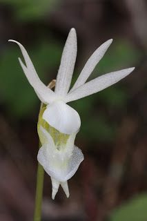 Native Orchids of the Pacific Northwest and the Canadian Rockies
