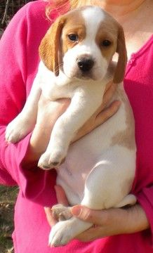 Litter Of 5 Beagle Puppies For Sale In Rolla Mo Adn 24091 On