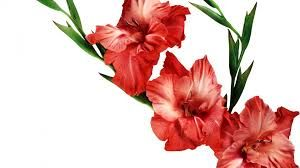 gladiolus tattoo - Google Search