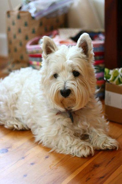 Bufanda para mujer Westie Dogs Breed West Highland Scottish Terrier