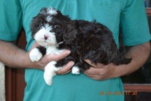 Labradoodle Puppies Puppies For Sale In Melbourne Labradoodle Labradoodle Puppy Puppies