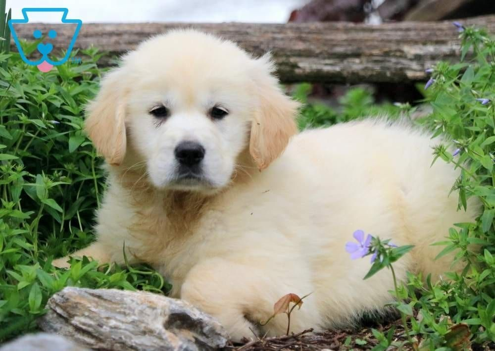 Kimmy Golden Retriever Puppy For Sale Keystone Puppies Golden