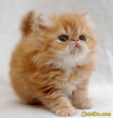baby crookshanks... I want one!