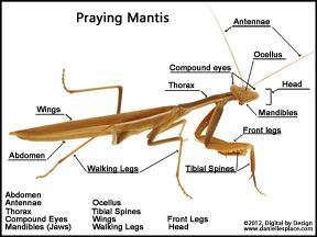 Label The Photograph Of A Praying Mantis Activity Sheet From Www Daniellesplace Com Praying Mantis Praying Mantis Life Cycle Cycle For Kids