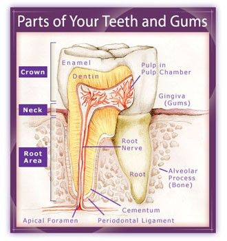 The parts of your #TEETH | Science | Pinterest | Parts, Teeths and Cs