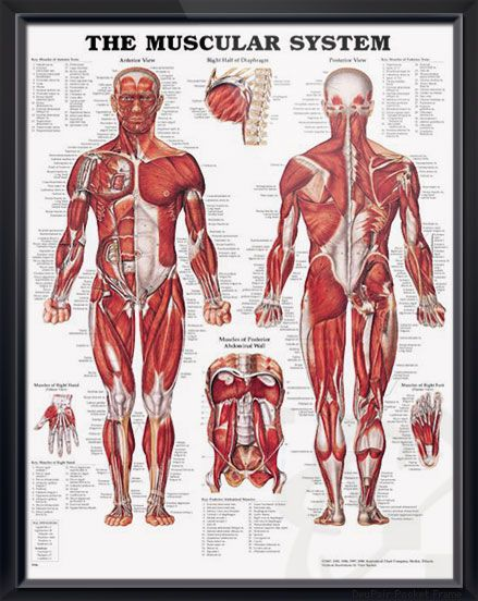 The Muscular System 20x26 | Pinterest | Muscular system, Anatomy and ...