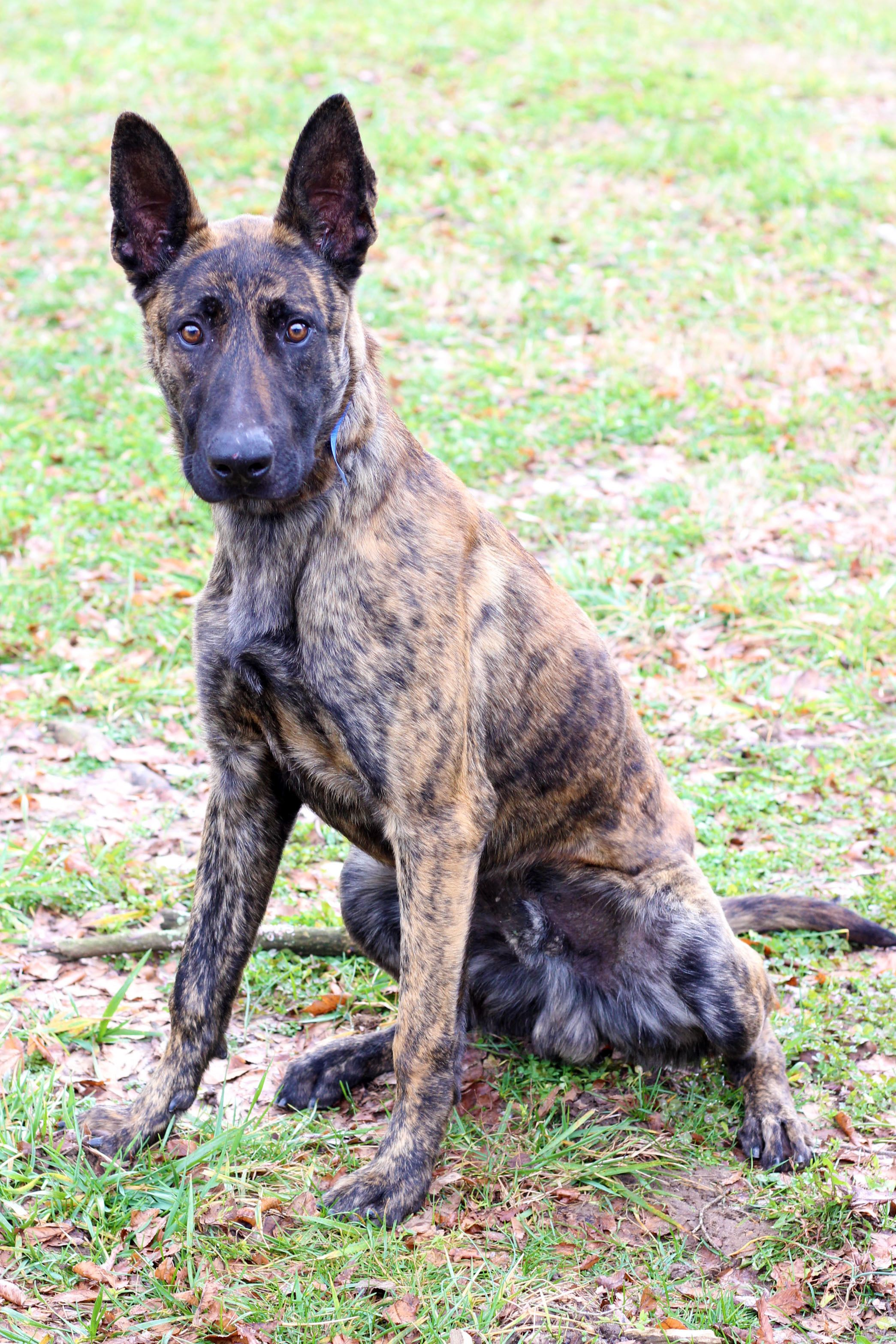 Adopt Karev 1923 On Petfinder Dutch Shepherd Dog Help Homeless