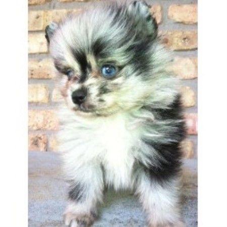 Rare Pomeranian Colors Rare Pomeranian Colors Pomeranian
