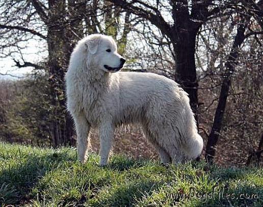 Alaska Pedigree Database Maremma And Abruzzes Sheepdog