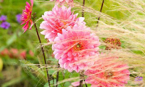 Best Gres For Dahlias Dahlia Companion Plants Planting Ornamental