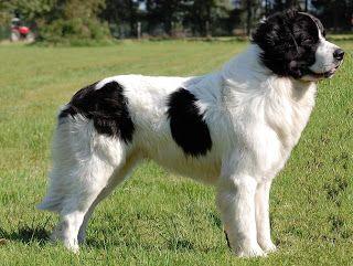 The Landseer Black And White Variant Of The Newfoundland Dog