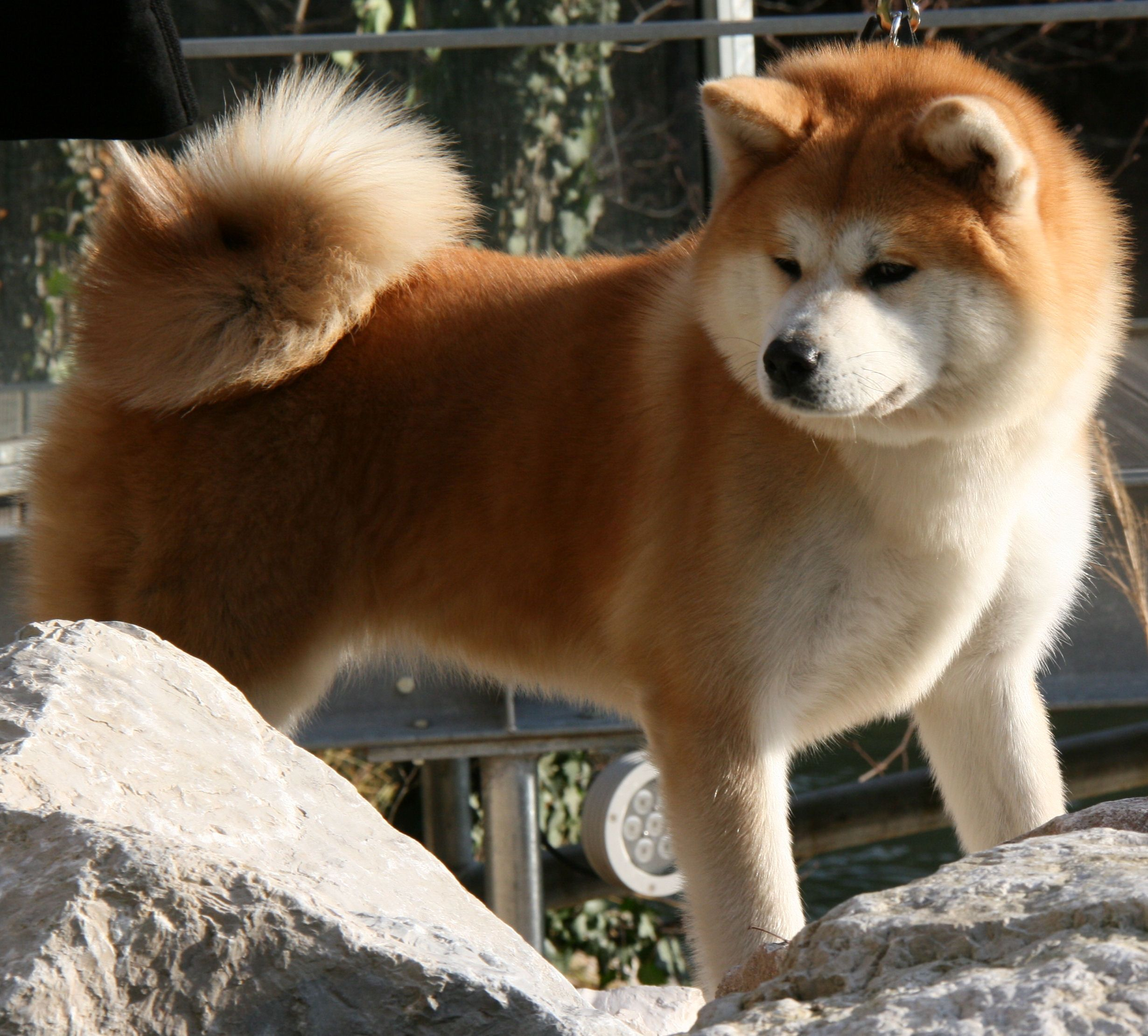 Japanese Akita Inu Beaux Chiens Chien Chiot
