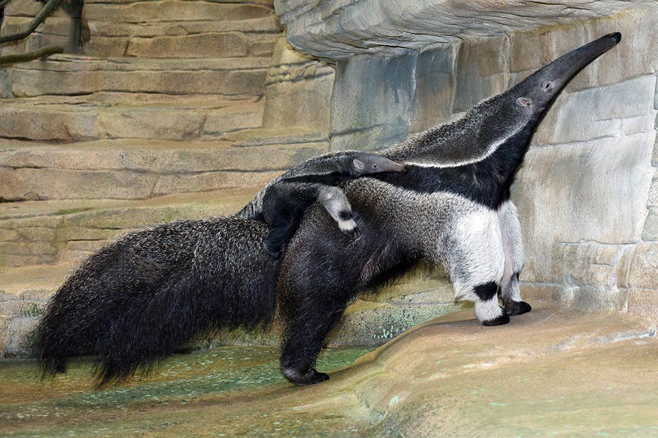 Pin by Camryn on Animals Brookfield zoo, Giant anteater
