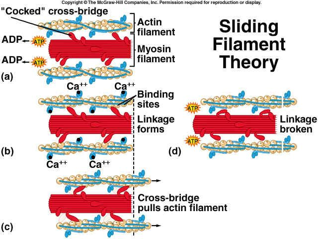 sliding filament theory of muscle contraction Google