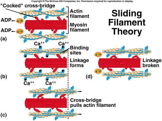 myosin crossbridge cycle | sliding filament theory | pinterest, Muscles
