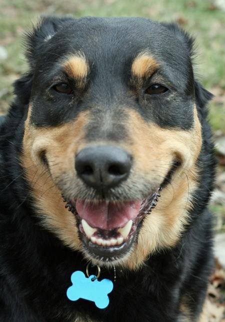 German Shepherd Rottweiler Mix Looks Just Like Our Foster Dog