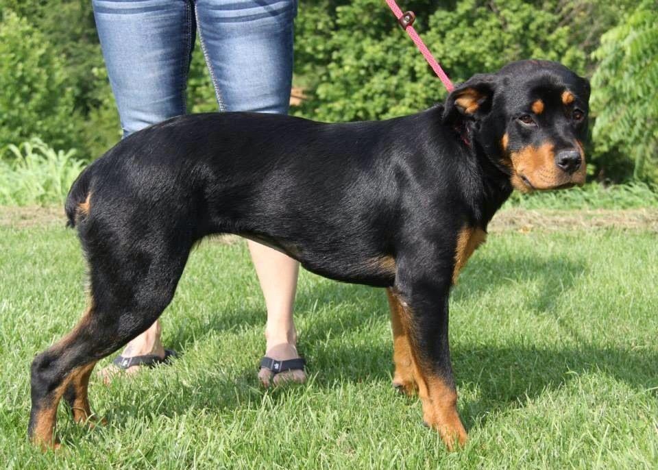 Ownersurrender 5 7 14 Marietta Oh Rottweiler Aleah Female 9