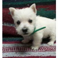 Puppies for sale - West Highland White Terrier (Westie
