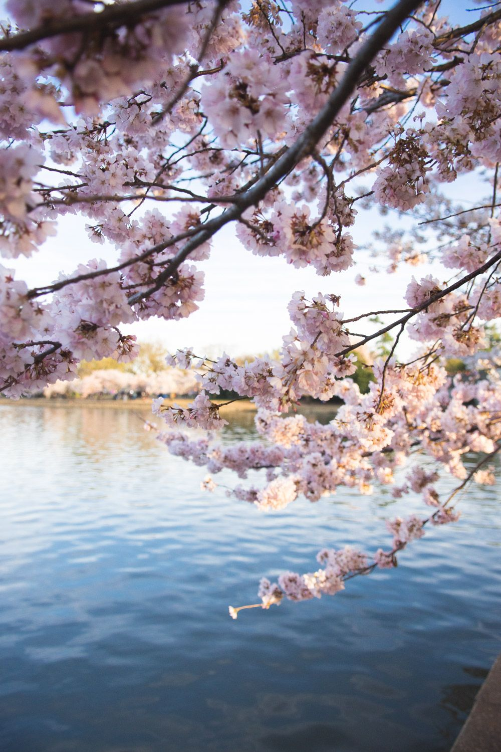 Cherry Blossom Festival Dc 2019 When To Expect Peak Bloom This Year Thrillis Cherry Blossom Festival Dc Cherry Blossom Pictures Cherry Blossom Washington Dc