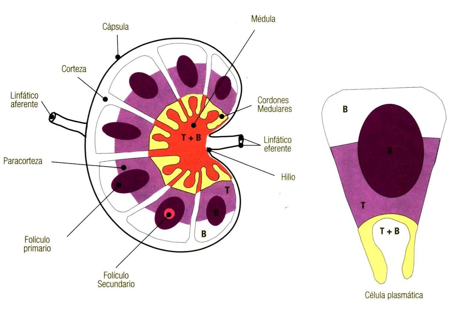 Resultado de imagen para paracorteza ganglio linfatico | k ...