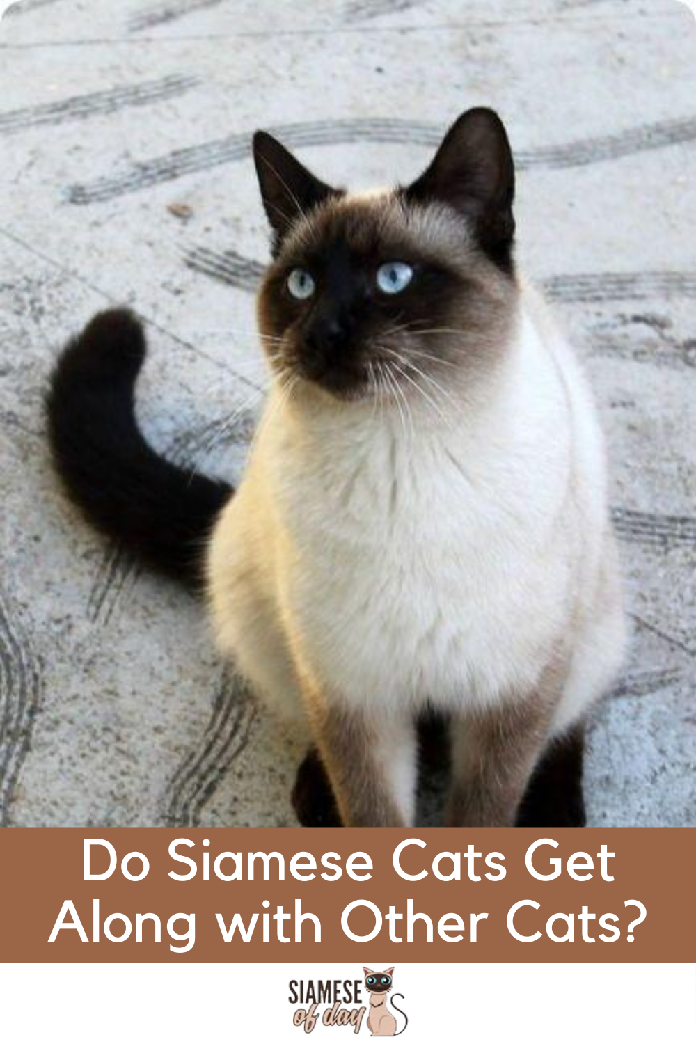 Do Siamese Cats Get Along with Other Cats? Siamese of