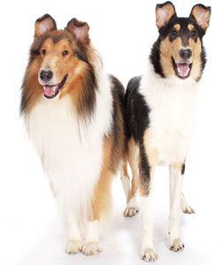 Meet the Collie in this issue of DOG FANCY. | children's magazines ...