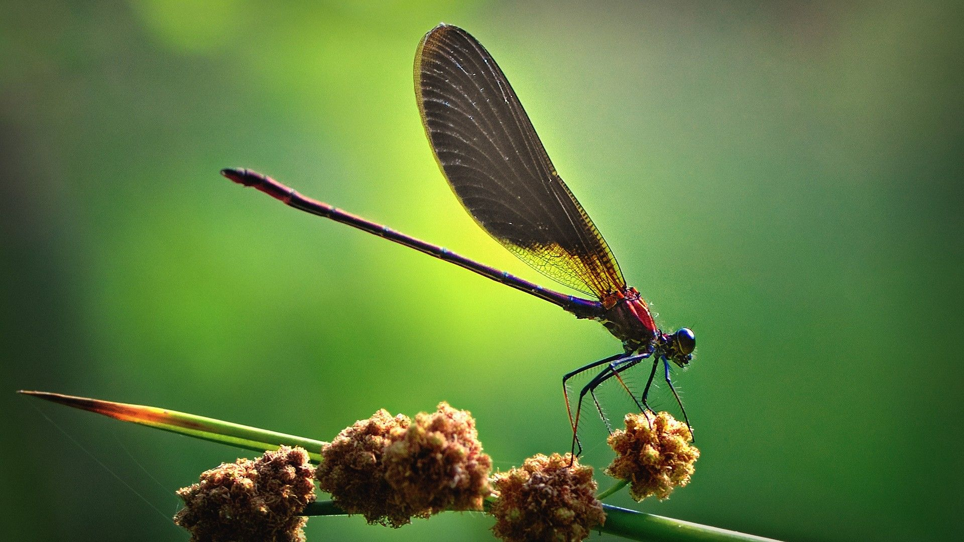 dragonflies, insect wallpapers and images - wallpapers ...