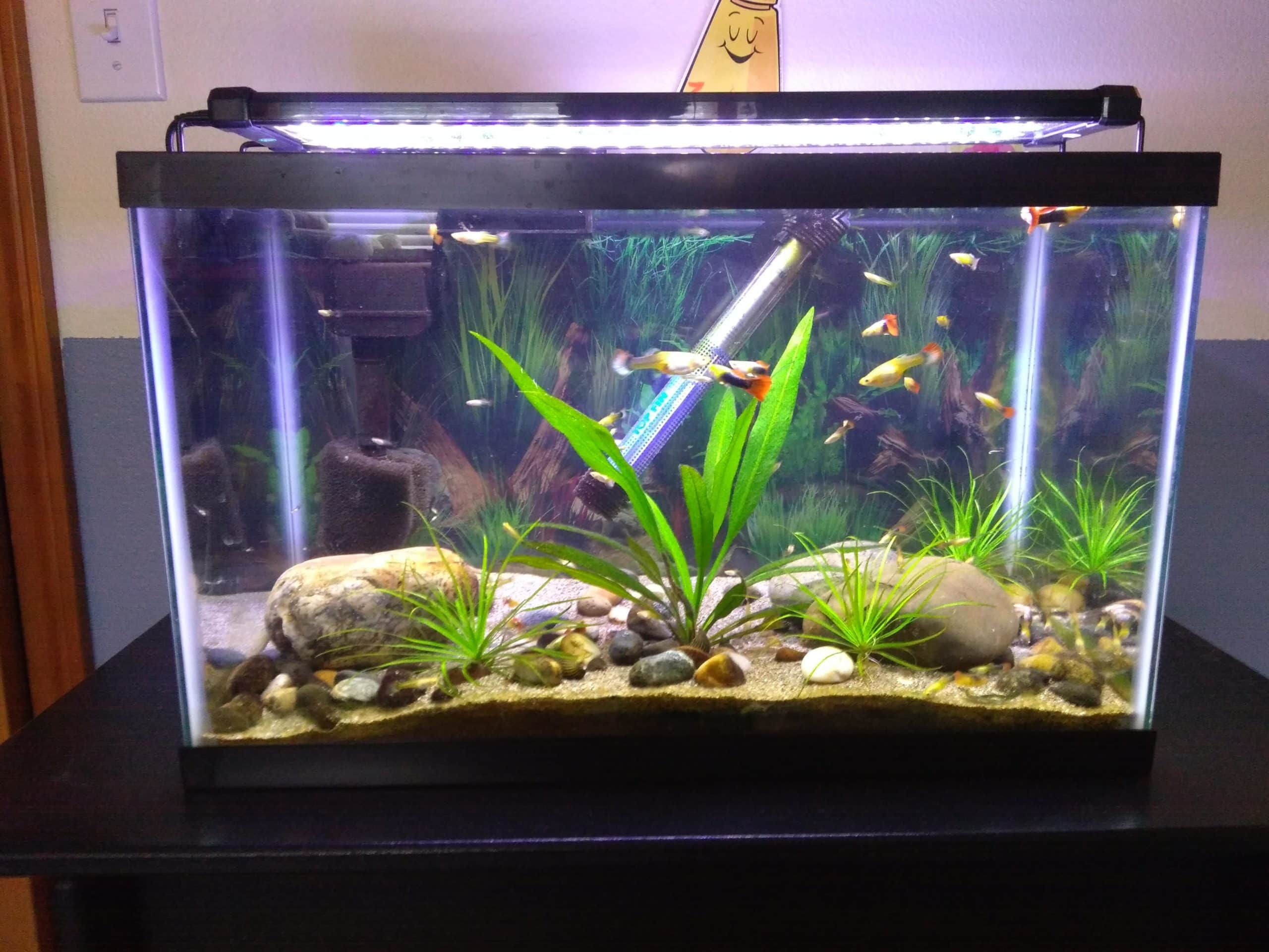 Learn More About How Many Guppies In A 10 Gallon Tank In 2020 Fresh Water Fish Tank Diy Fish Tank Fish Tank