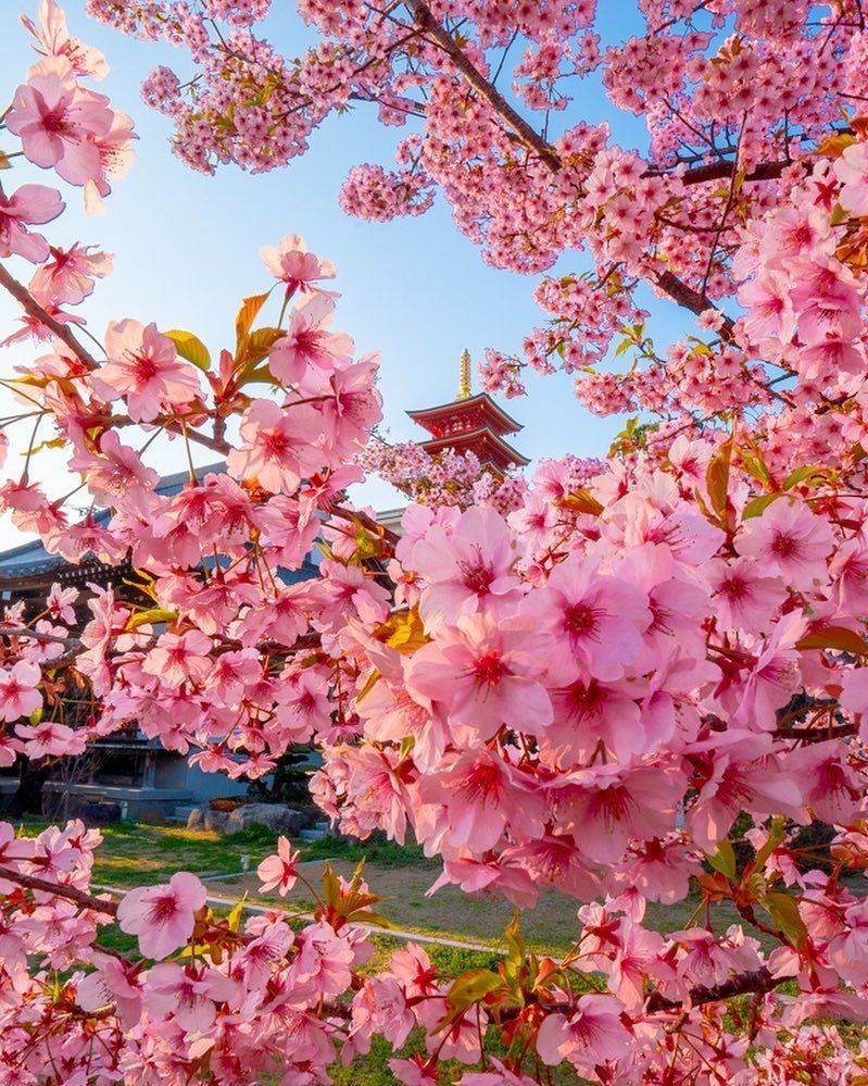 Cherry Blossoms And Nemophila Flowers Are Blooming In Japan Cutesypooh Beautiful Flowers Pictures Cherry Blossom Japan Flower Pictures