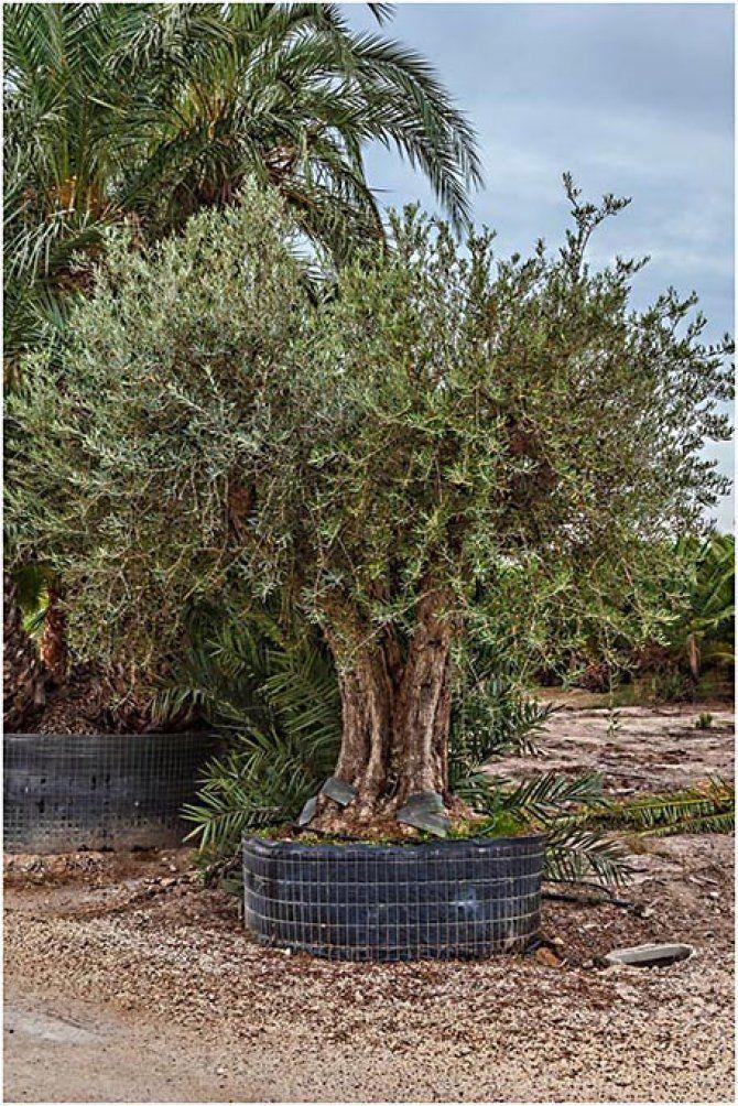 Multi Trunk Olive Trees For In Spain Www Palmfarm Es